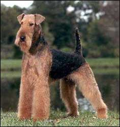 Airedale Terrier Fluff Amp Dry Grooming Salon