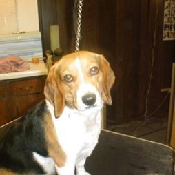 beagle51