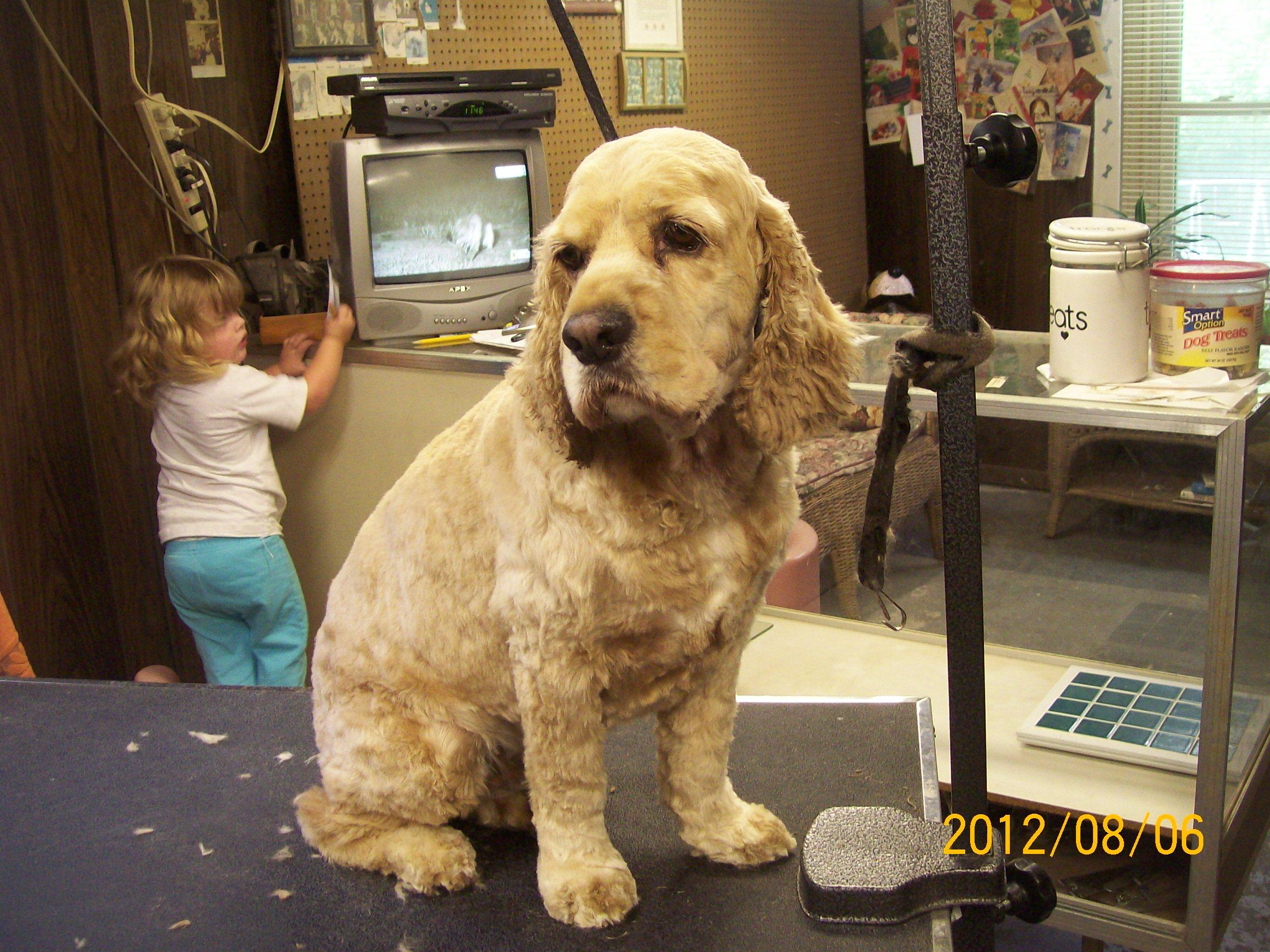 cocker spaniel  u2013 fluff  u0026 dry grooming salon