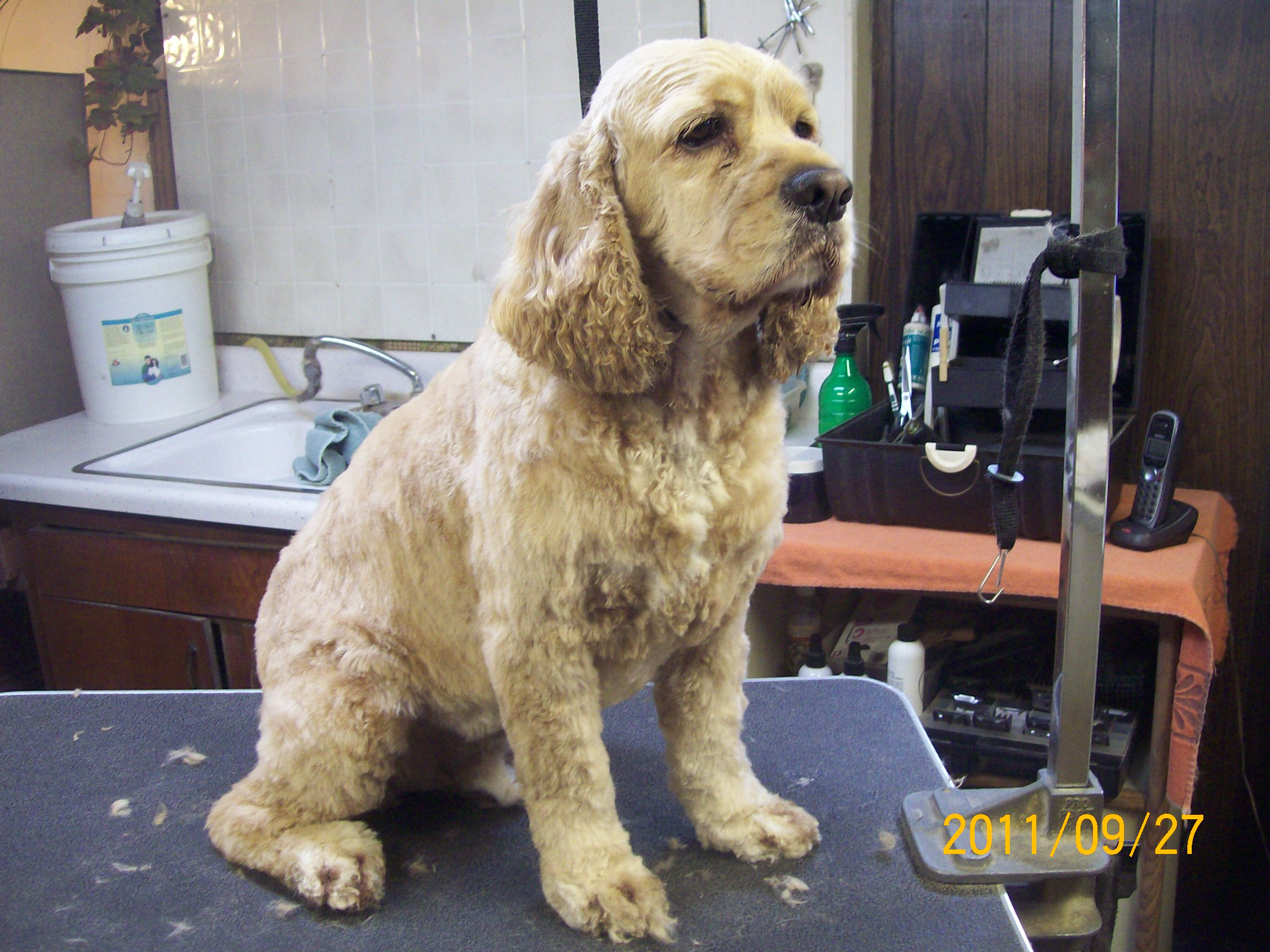 cocker spaniel � fluff amp dry grooming salon
