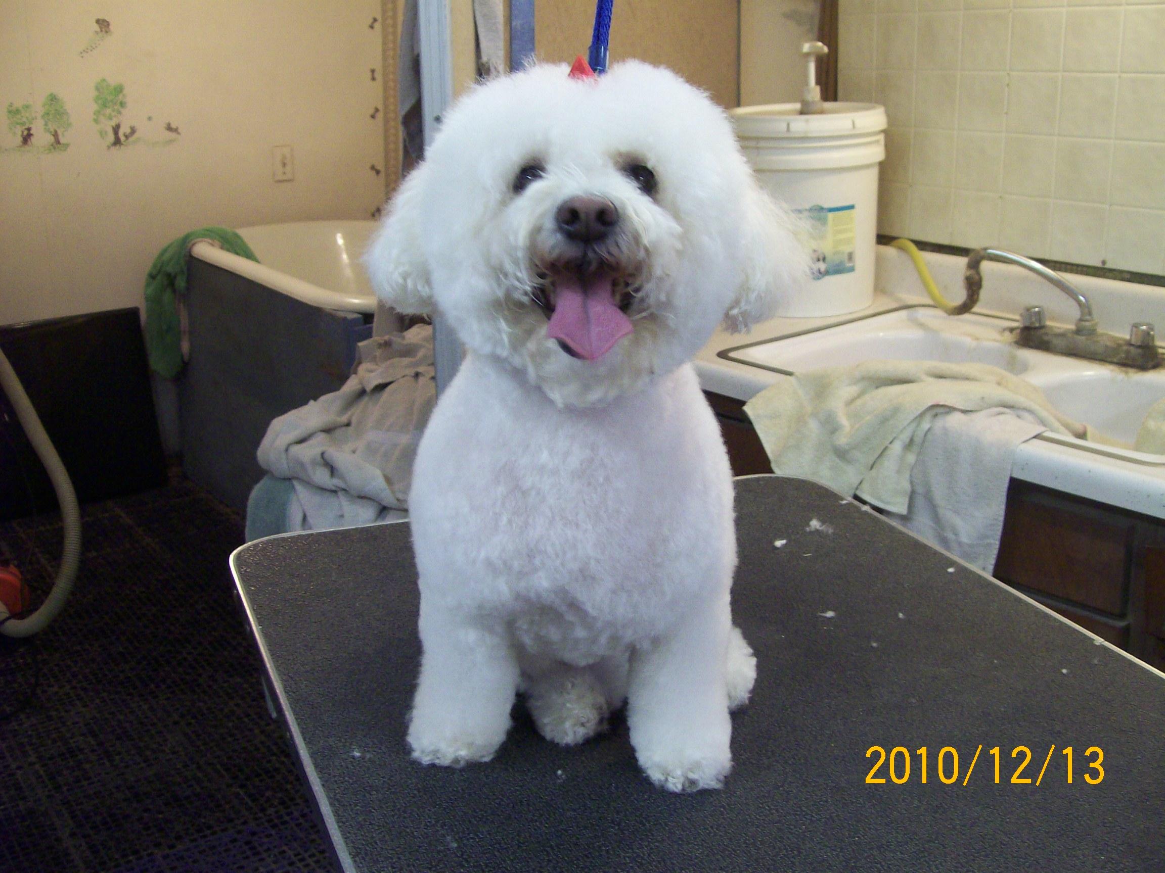 bich poodle mix   u2013 fluff  u0026 dry grooming salon