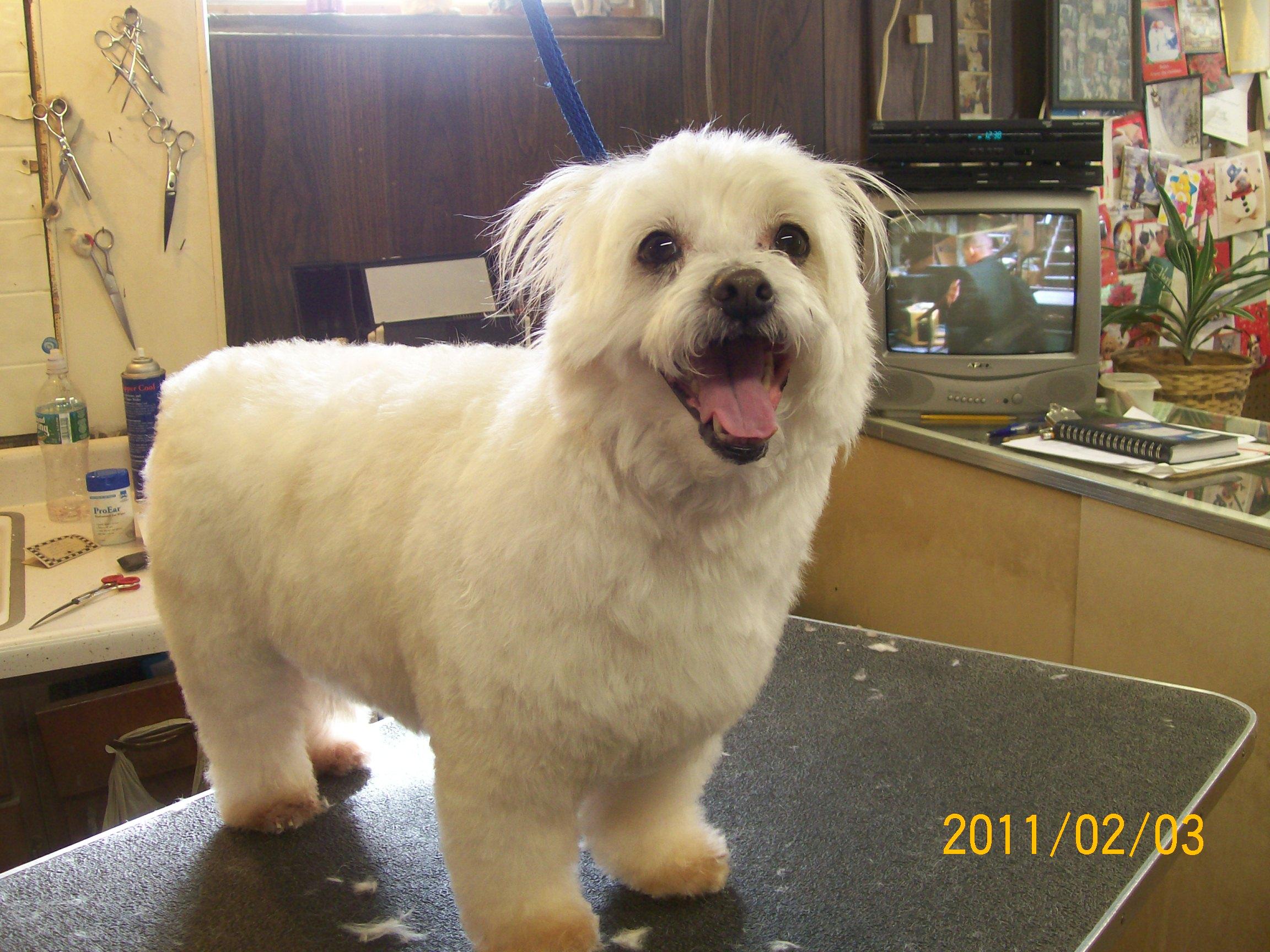 Bich Poo Bichon Poodle Mix Fluff Dry Grooming Salon