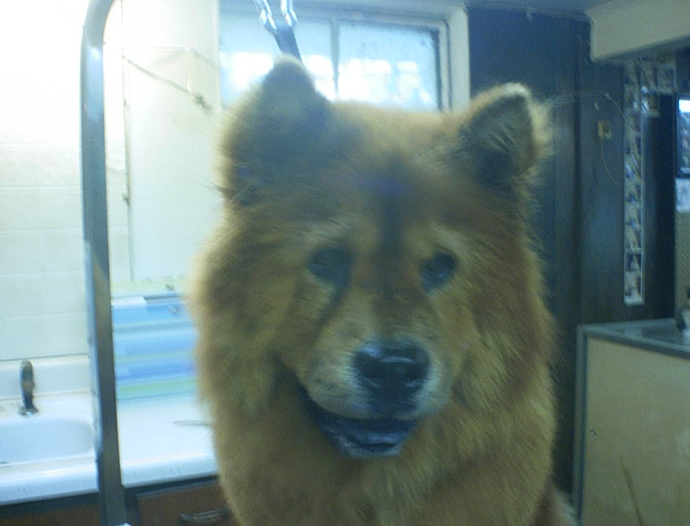 Chow Chow Fluff Amp Dry Grooming Salon