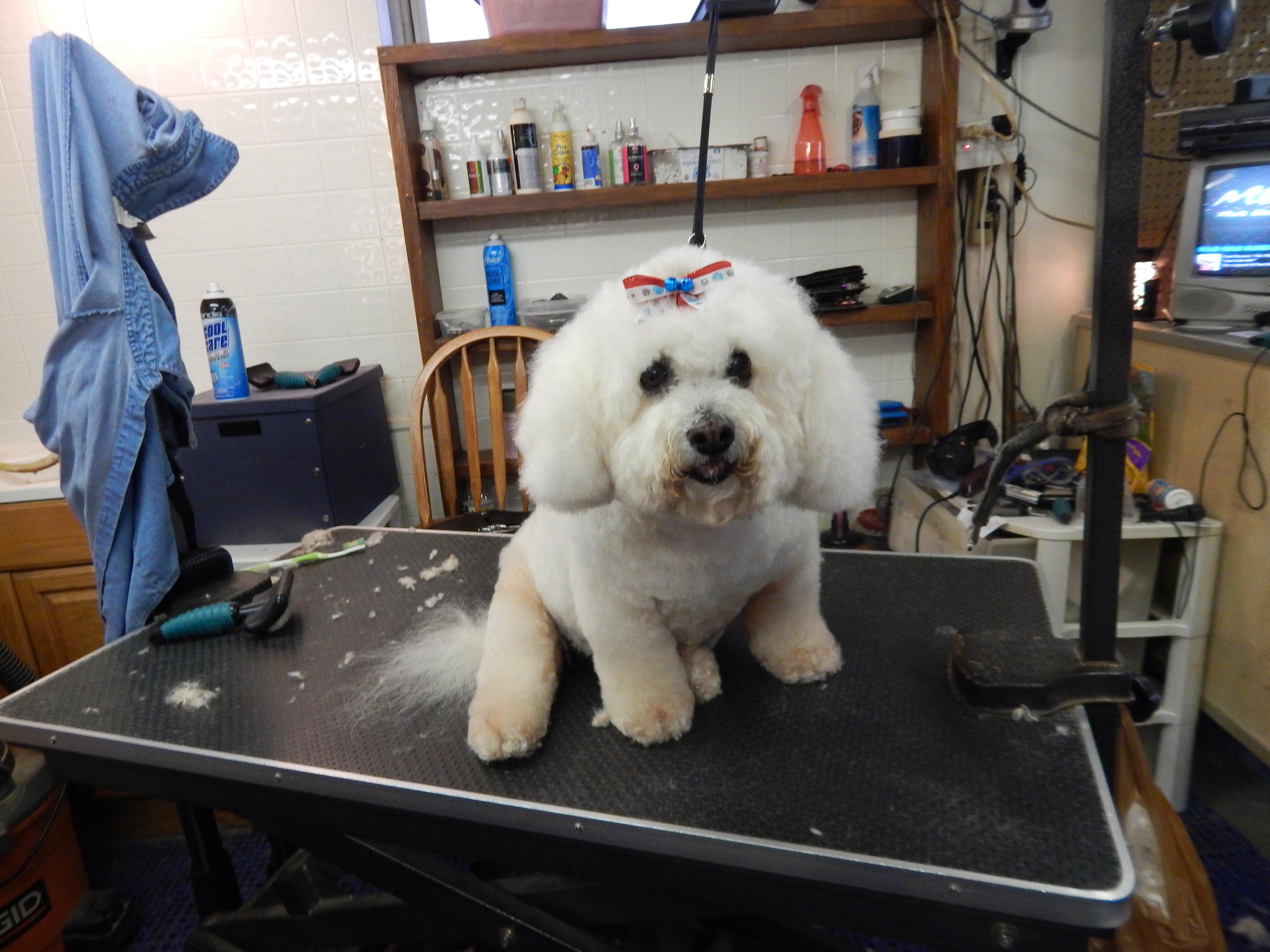 bichon frise  u2013 fluff  u0026 dry grooming salon