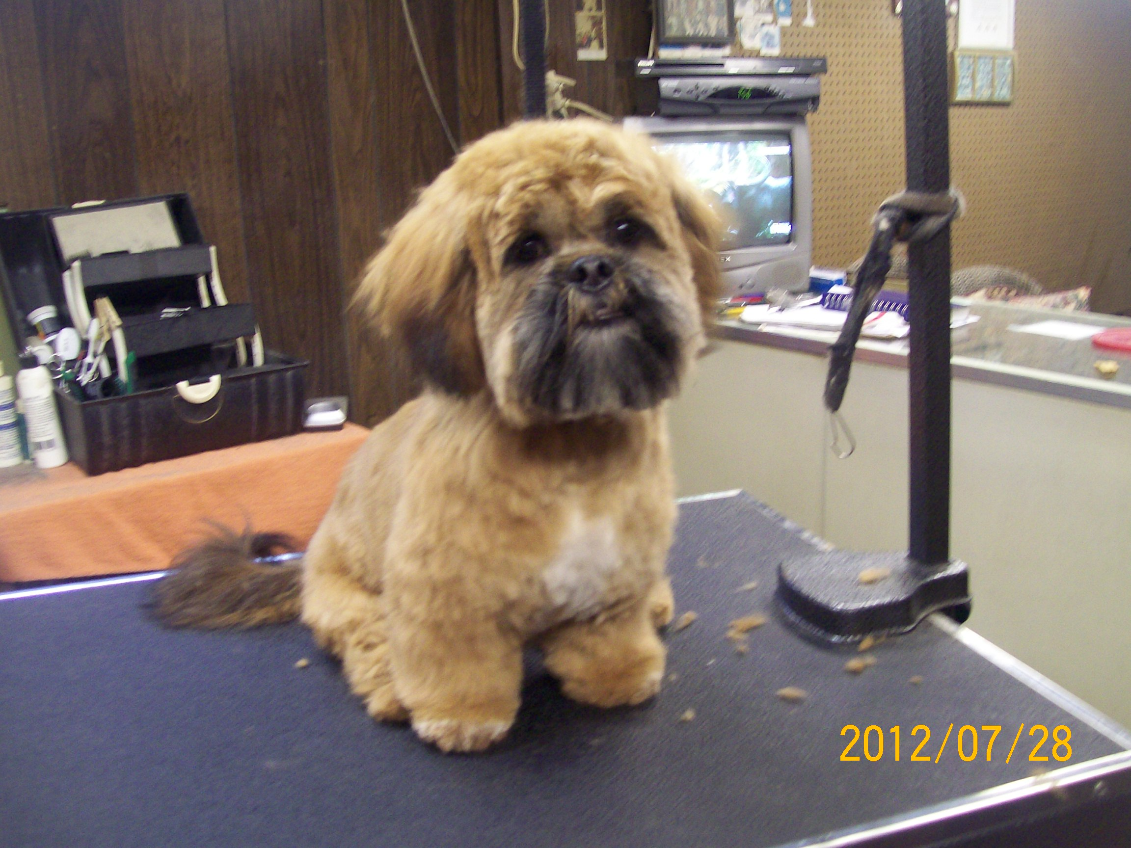 Shihpoo Shih Tzupoodle Mix Fluff Dry Grooming Salon